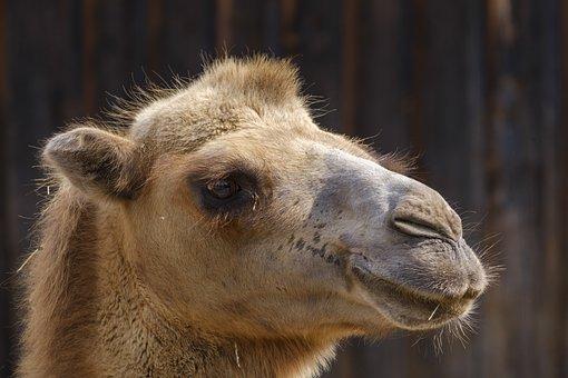 Camel, Dromedary, Livestock, Mammal Family, Paarhufer