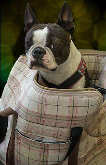 Dog, Boston Terrier, Bag, Carrying Bag, Sit, Pet, Cute