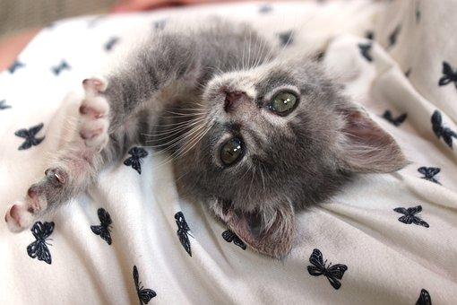 Chartreux, Hybrid, Cat, Cat Baby, Pet, Kitten, Animal