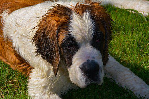 Dog, Saint-bernard, Animals, Cute, Snout, Companion