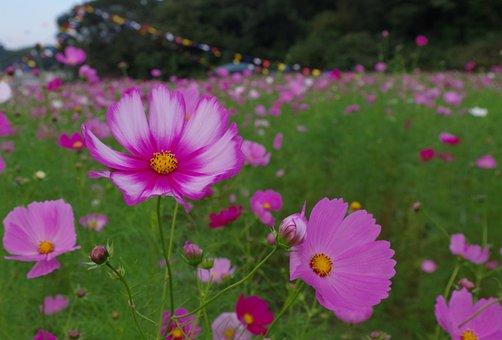 Cosmos, Autumn, Autumn Cherry, Flowers, 秋桜 Vineyard