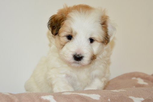 Dog, Puppy, Young, Pup, Coton De Tulear, Dog Oliver