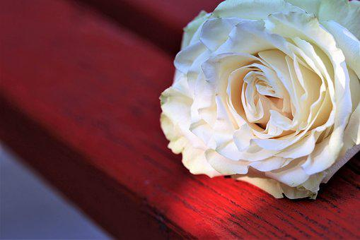 White Rose On Red Bench, Flower, Decoration, Leaves