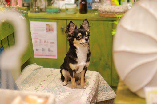 Puppy, Chihuahua, Dog, Cute, Animal, Breed, Little