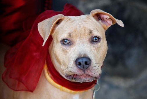 Dog, Dog Collar, Bows, Eyes, Head, Animal, Portrait