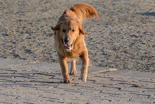 Retriever, Golden, Dog, Pet, Animal, Purebred Dog, Fur