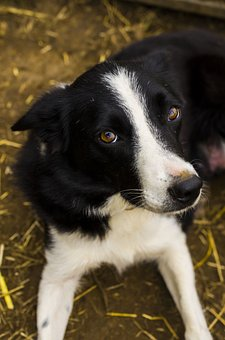 Dog, Outdoors, Collie, Animal, Mammal
