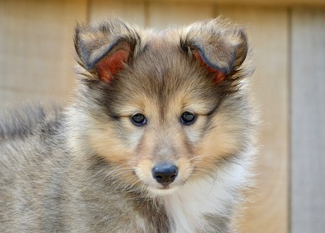 Puppy, Dog, Young Male Dog, Shetland Sheepdog