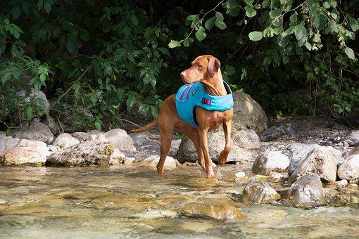 Dog, Vizsla, Animal, Summer, Walking, Doggy, Pets