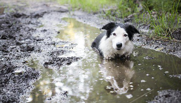 Dog, Bordercollie, Border, Dogs, Pet, Animal, Animals