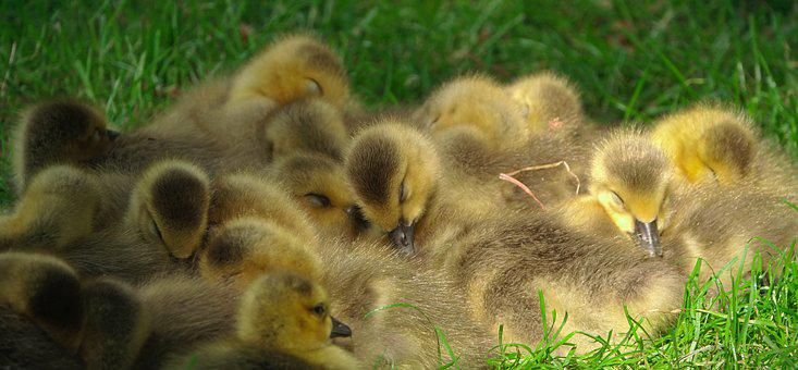 Cute, Duckling, Duck, Fluffy, Animal, Small, Chicks