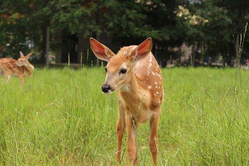 Fawn, Whitetail Deer, Deer, Wildlife, Animal, Wild