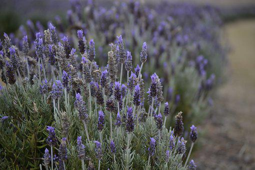 Lavender, Farm, Scent, Field, Flower, Nature, Garden