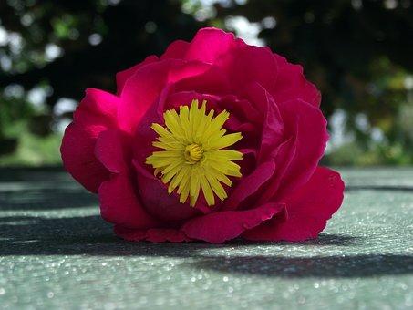 Flower, Rose, Red, Romantic, Beauty, Garden