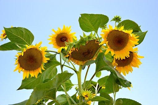 Sunflower, Sun Roses, Flowers, Bloom, Plant, Summer