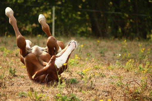 Foal, Horse, Rolling, Thoroughbred Arabian