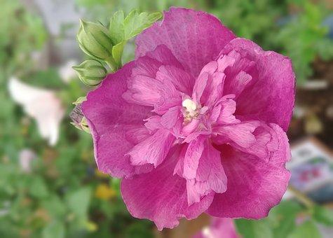 Rose Of Sharon, Acid, Fold No Change