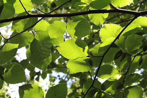 Beech, Leaves, Wood, Natural, Forest