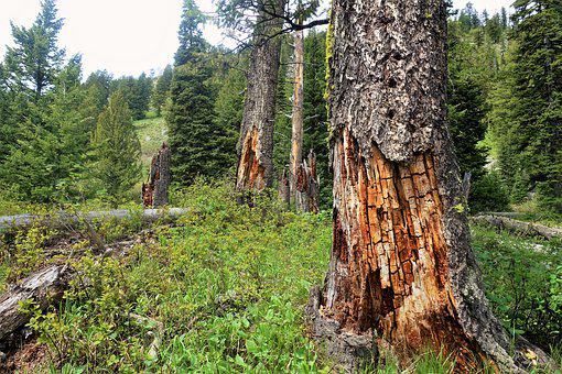 Forest, Wood Texture, Trees, Hiking, Wyoming, Tetons