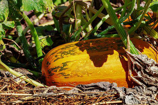 Oil Pumpkin, Pumpkin, Fruit, Yellow Green, Plant, Crop