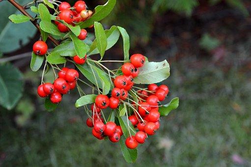 Holly, Ilex, Berries, Fruits, Orange, Autumn, Plant