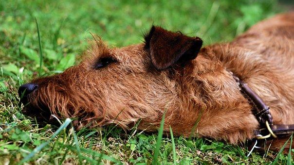 Dog, Irish Terrier, Fur, Garden, Meadow, Pet, Animal