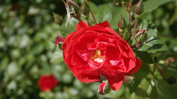 Rose, Garden, Flower, Bloom, Love, Nature, Aroma, Red
