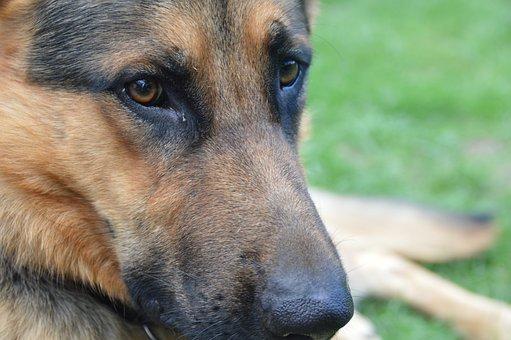 Shepherd, German Shepperd, Dog, Animal, Eyes, Snout