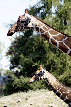 Giraffe, Animal, Animal Portrait, Head, Neck, Giraffes