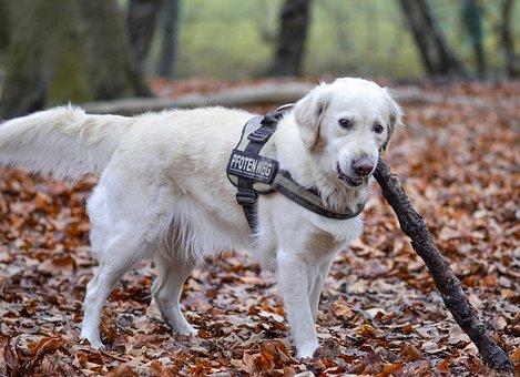 Golden Retriever, Dog, Animal, Pet, Retriever
