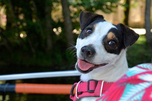 Jack Russel, Dog, Smile, Harness, Adorable, Portrait