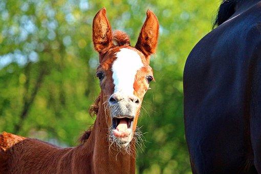 Foal, Horse, Fuchs, Mare, Animal, Thoroughbred Arabian