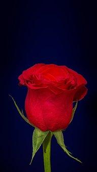 Red, Rose, Wallpaper, Dark, Blue, Magenta, Purple, Hue
