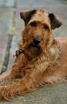 Dog, Irish Terrier, Pet, Animal, Terrier