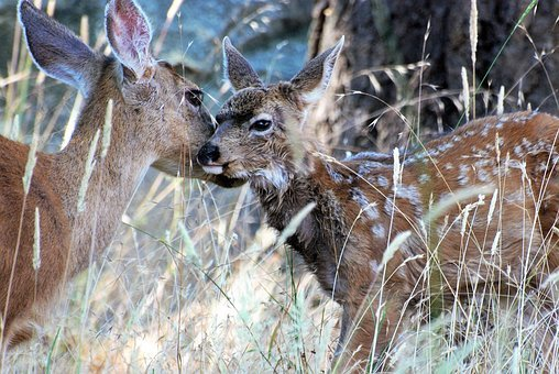 Mule Deer, Kitz, Stains, Lick, Motherly Love, Bambi