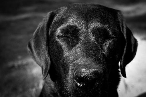 Labrador, Black, Monochrome, Dog, Portrait, Head