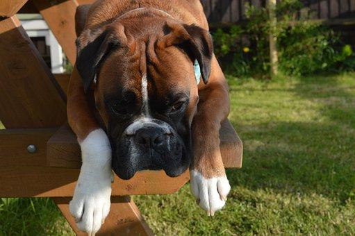 Boxer Dog, Pet, Animal, Lying, Domestic, Cute, Rest