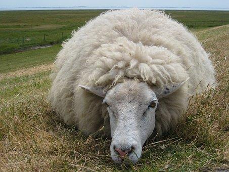 Sheep, Wool, Dike, Meadow, Livestock, Agriculture