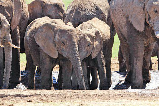 Africa, South Africa, National Park, Elephant