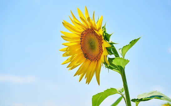 Sunflower, Yellow, Solar, Nature, Flowers, Plant