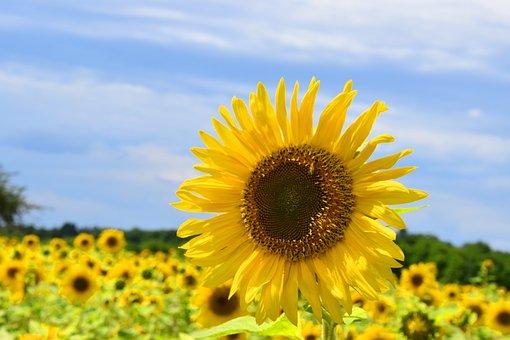 Sunflower, Summer, Yellow, Nature, Blossom, Bloom