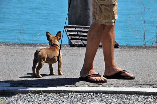 Dog, On A Leash, Nice, Pet, Animals, Ears, Sweet, Small