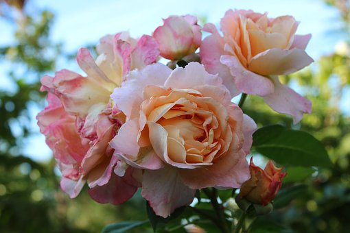 Roses, Noble Roses, Pink, White, Romantic, Love