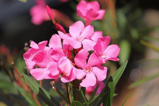 Oleander, Flowers, Nerium Oleander, Laurel Rose, Flower