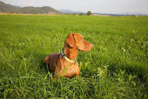 Vizsla, Dog, Animal, Brown, Summer, Nature, Cute, Out