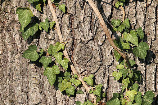 Tree Bark, Ivy, Forest, Nature, Pattern, Structure