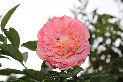 Pink Rose, Rose, Flower, Raindrop, Sky, Background