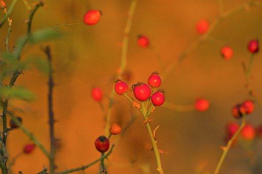Rosehip, Plant, Nature, Flower, Autumn, Forest, Fruit