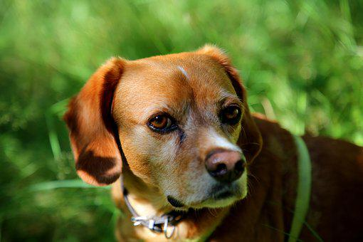 Dog, Animal, Outdoor, Pet, Portrait, Brown, Face