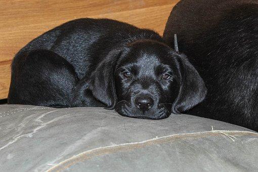 Labrador, Black, Puppy, Dog, Pet, Animal, Animals